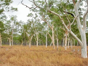 Ghost Gum Forest