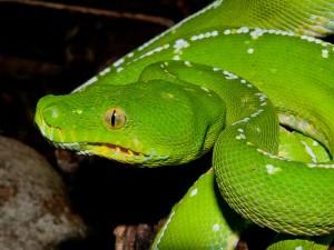 Green Python on the McIlwraith