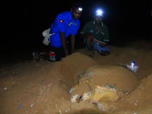 Turtle Nesting Monitoring