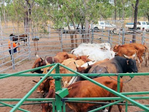 Managing feral cattle off the country